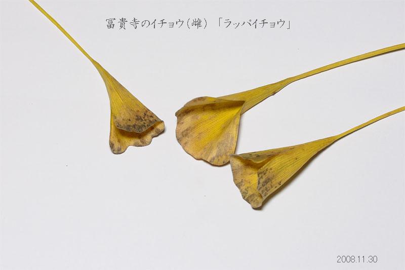 イチョウの画像 p1_27